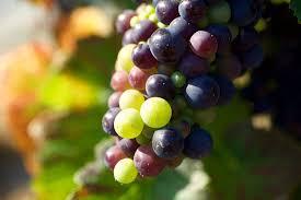 photo raisins vigne
