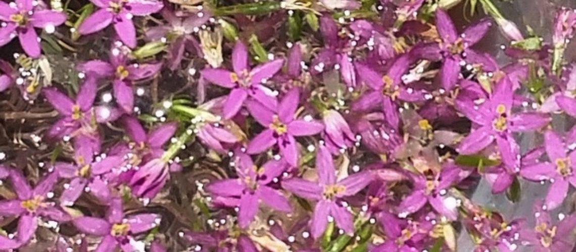 Photo Centaury - Fleurs de Bach