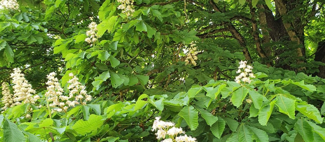 white-chestnut-iffacb